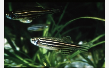 Researchers studying zebrafish discovered a gene linked to human pigmentation.