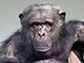 image of an aged chimpanzee