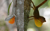 Anolis cooki (left) prefers sunny perches, while  Anolis gundlachi (right) prefers to perch in the shade