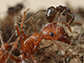 Argentine ant dab irritant chemicals onto opponent's body