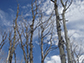 Aspens affected by drought