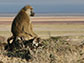 image of a baboon
