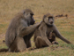an adult male baboon is grooming an adult female