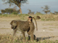 an infant baboon rides on its mother's back