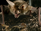 a pallid bat about to strike a giant desert hairy scorpion