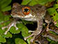 Boophis marojezensis from Madagascar