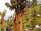 a Great Basin National Park tree