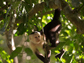 a capuchin monkey in a tree