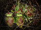 Cephalotus follicularis, the Australian pitcher plant