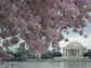 cherry blossoms in DC's tidal basin