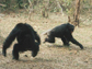 a male chimpanzee menaces a fleeing female