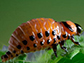 the larval stage of the Colorado potato beetle