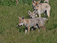 seven-week-old coyote pups
