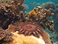 a crown-of-thorns sea star is shown on a coral reef