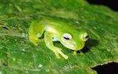 the emerald glass frog
