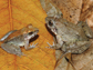 male, left, and female fanged frogs