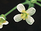 Arabidopsis flower
