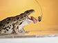 a northern leopard frog catches a cricket
