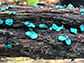 Chlorociboria aeruginascens, a saprobic species of mushroom