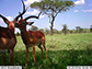two impala standing