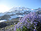Lupines on Mount Rainier