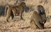 an adult male baboon and an adult female with clinging infant forage for food