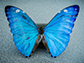 morpho butterfly wings