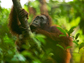 image of an orangutan in a tree