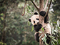giant panda in a tree