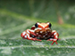 the phantasmal poison frog, Epipedobates anthonyi
