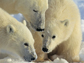 image of polar bears
