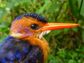 an African pygmy kingfisher