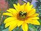 queen bee on sunflower