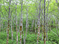 stand of red alder trees