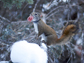 a female red squirrel moves a newborn