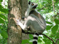 a female ring-tailed lemur