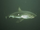 Stanford research predicts overlap of tunas, sharks and ships at sea