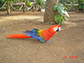 Scarlet Macaw walks on the ground