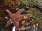 black turban snails escape predation by sea stars