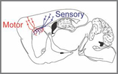 diagram showing connections between the motor and sensory areas of the cerebral cortex to the striatum