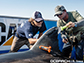 researcher uses a putty knife to protect the shark's fin while attaching the tagging