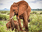 orphaned elephant Soutine with her calf