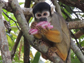 the black-headed squirrel monkey