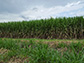 Success is sweet: Researchers unlock the mysteries of the sugarcane genome