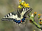 a swallowtail butterfly on a flower
