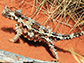a Thorny Devil in the reptile house at Alice Springs Desert Park