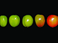 tomato fruit at the different developmental stages
