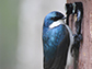 a tree swallow returns to its nest box