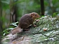 Northern Slender-tailed Treeshrew