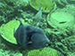 a triggerfish (blue) with a pencil urchin in his mouth and a hog fish is right there to try to steal it